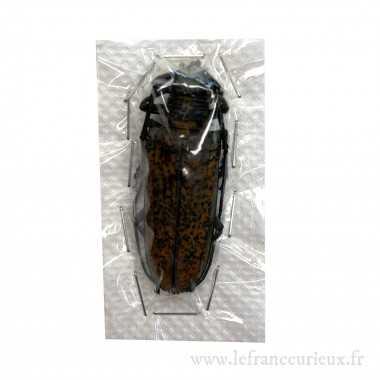 Apriona marcusiana - femelle