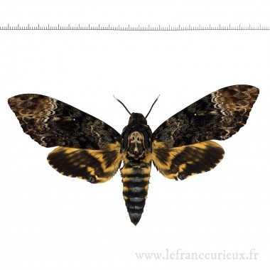 Acherontia lachesis - femelle