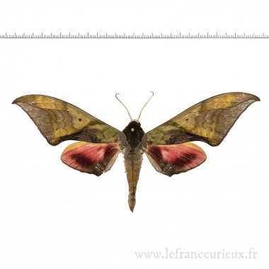 Callambulyx rubricosa...