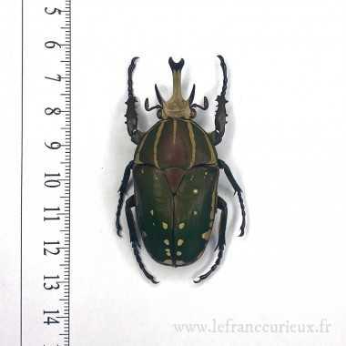 Mecynorhina (Mecynorhina)...