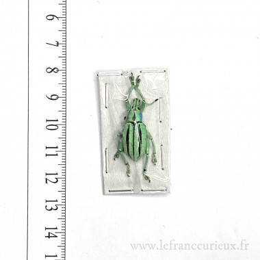 Eupholus cuvieri