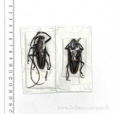 Batocera rosenbergi -...