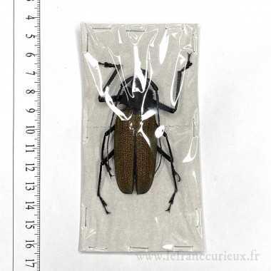 Xixuthrus granulipennis - 65mm