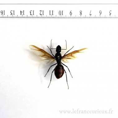 Dinomyrmex gigas -reine