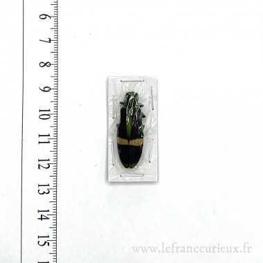 Chrysochroa gratiosa gratiosa