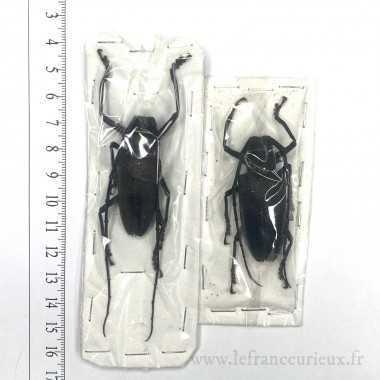 Batocera laena gracilis -...