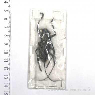 Pelagoderus sp. - mâle - 39mm