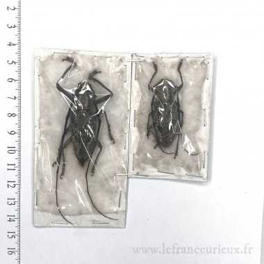 Pelagoderus sp. - couple -...