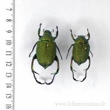 Chrysophora chrysochlora -...