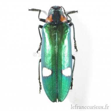 Megaloxantha mouhoti - mâle