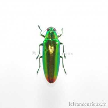 Chrysochroa fulminans fulminans - mâle
