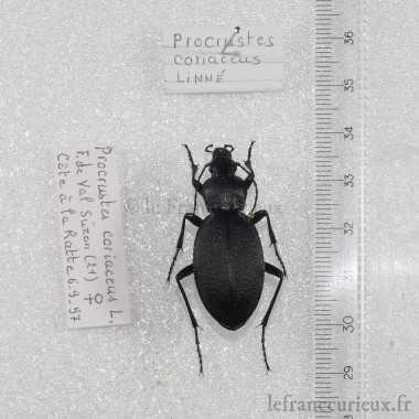Procrustes coriaceus