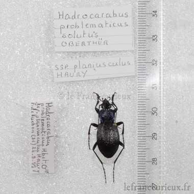 Hadrocarabus problematicus planiusculus