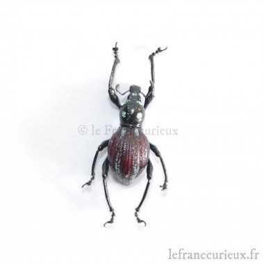 Pachyrrhynchus caeruleovittatus (F.)