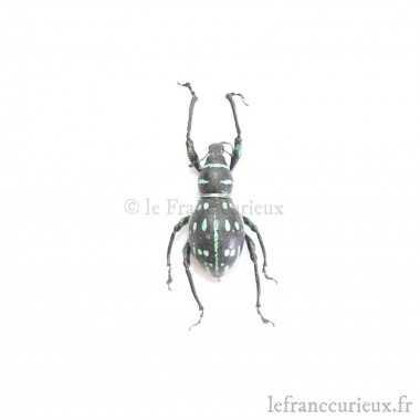 Callipogon armillatus