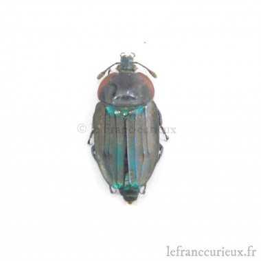 Necrophila viridis