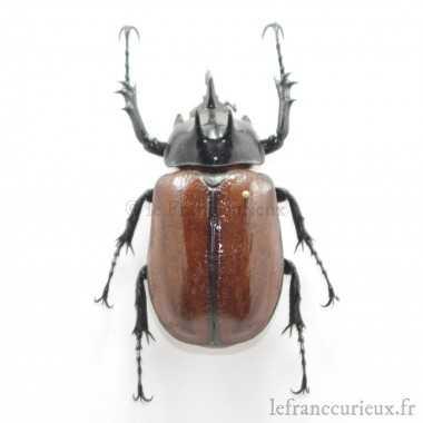 Eupatorus sukkiti - mâle -...