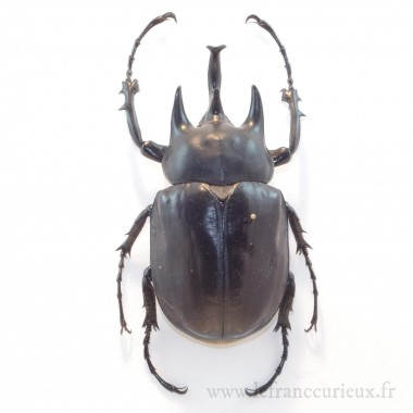 Megasoma actaeon - mâle - 100mm