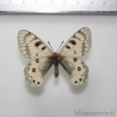 Parnassius staudingeri hissaricus