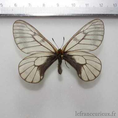 Parnassius glacialis mikado