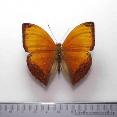 Cymothoe hesiodotus hesiodotus
