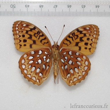 Polyura schreiber malayica