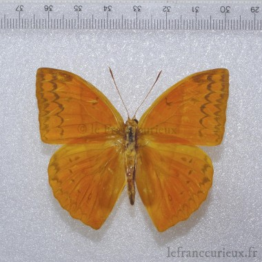 Amathusiidae Enispe lunatum