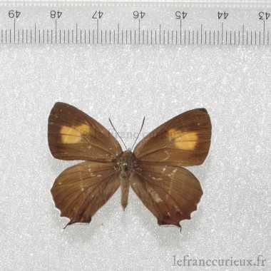 Chrysozephyrus smaragdinus