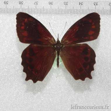 Lasiophila orbifera orbifera