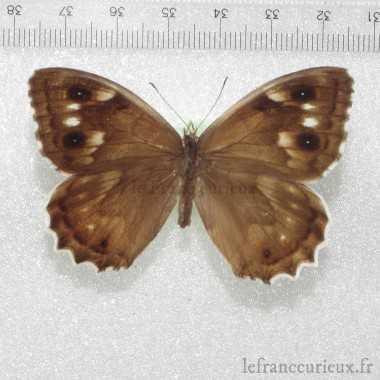 Parisolea Pallida