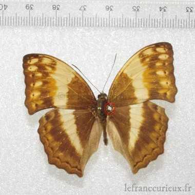 Fruhstorferia kinabaluensis